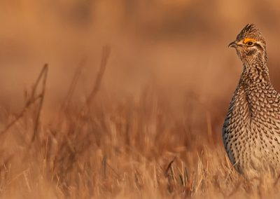 Sharp-tailed-grouse-pano-FB-page