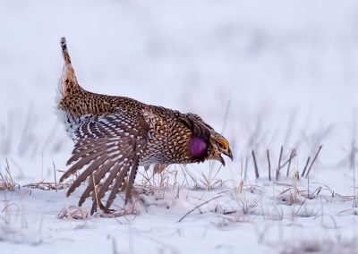 Sharptailed grouse displaying