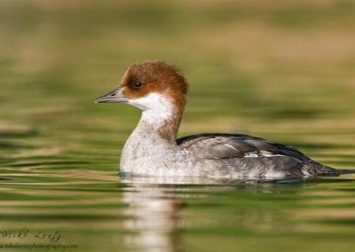 Smew hen portrait slideshow