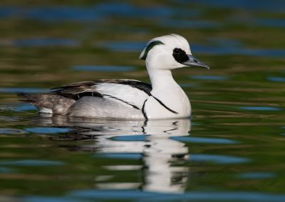 Smew on green SLIDESLOW