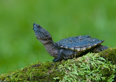 Snapping Turtle head up SLIDESHOW