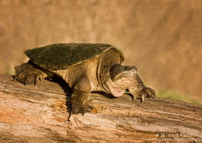 Snapping turtle crosses over log