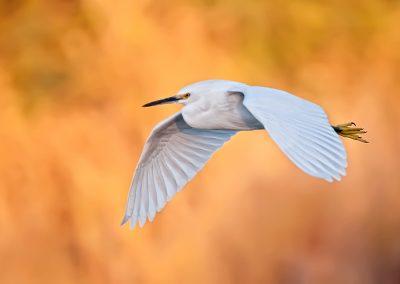 Snowy Egret in flight PS