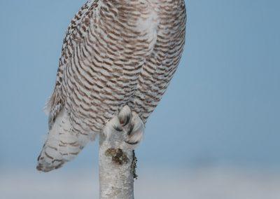 Snowy Owl Birch popsicle