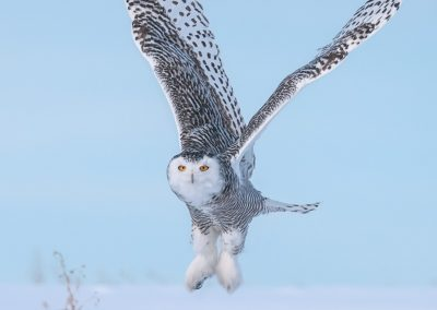 Snowy Owl V formation crop