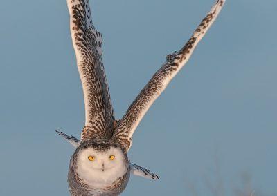 Snowy Owl Verticle massive burst