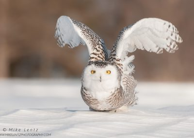 Snowy Owl angelic burst
