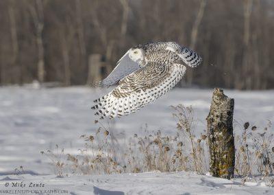 Snowy Owl bails off log in field