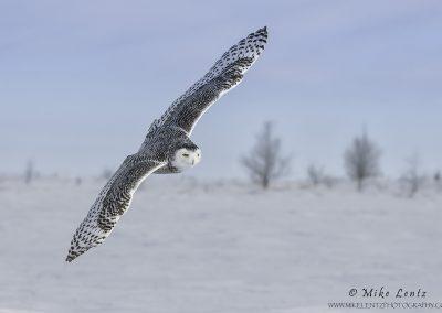 Snowy Owl banking in field