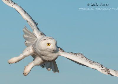 Snowy Owl banking