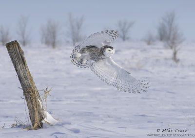 Snowy Owl burst off post sideways