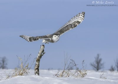 Snowy Owl bursts off birch