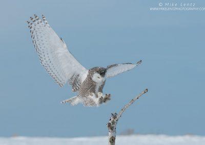 Snowy Owl clean landing