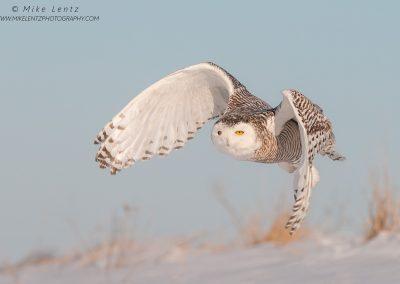 Snowy Owl glides down hillsidePS2