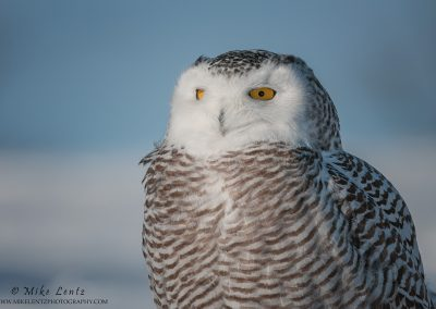 Snowy Owl half body