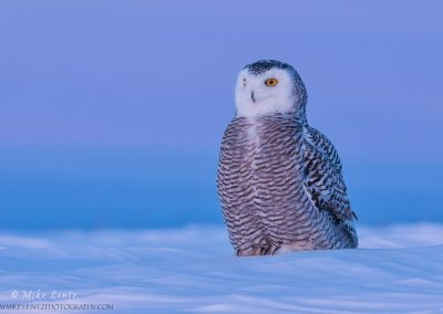 Snowy Owl in Magenta sunset