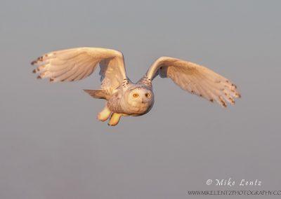 Snowy Owl last light flight