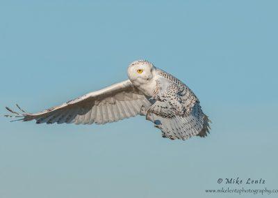 Snowy Owl look back
