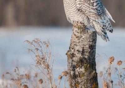 Snowy Owl majestic Birch perchPS2