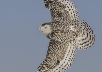 Snowy Owl mega bank