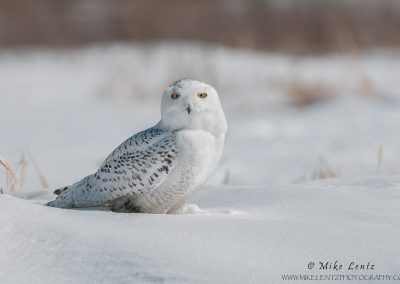 Snowy Owl of the bog