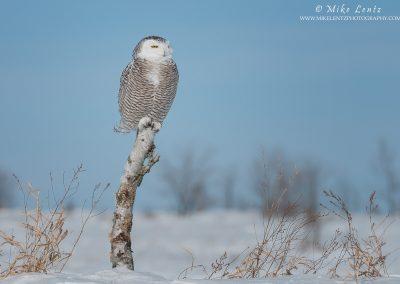 Snowy Owl on birch in landscape