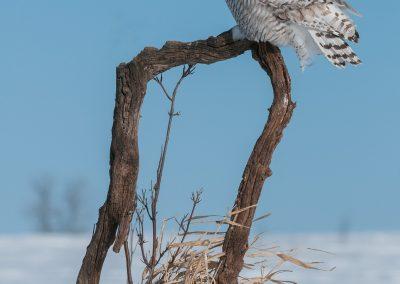 Snowy Owl on horseshoe log