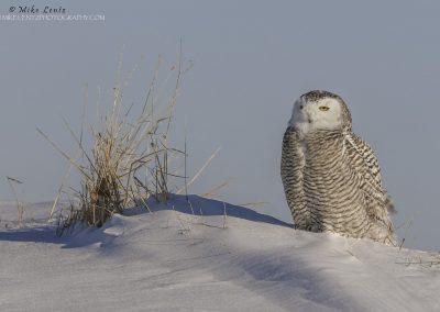 Snowy Owl on snow ledge