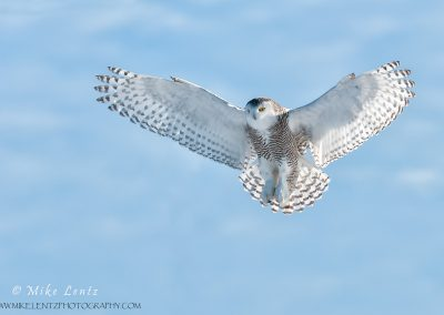 Snowy Owl soft flight