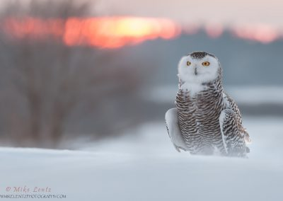 Snowy Owl sunset dreams