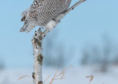 Snowy Owl verticle birch portrait