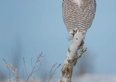 Snowy Owl verticle birch tight