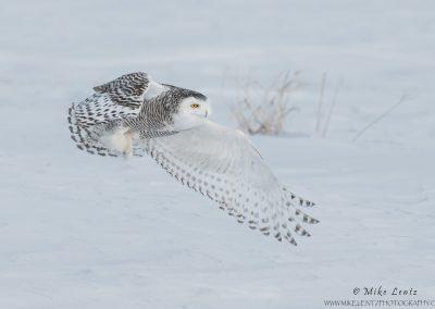 Snowy Owl windswept