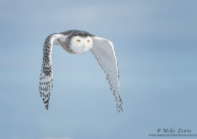 Snowy Owl wing flap down