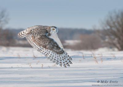 Snowy Owl wings low