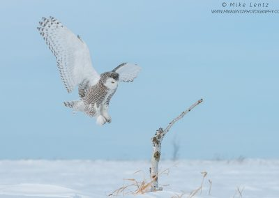 Snowy Owl wings wide on landingPS2