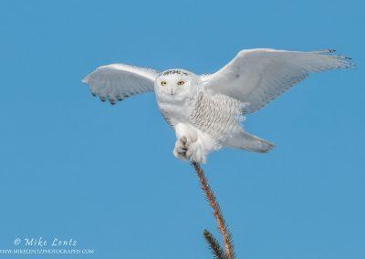 Snowy Owl wings wide on pine top