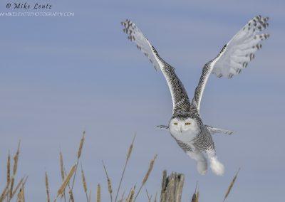 Snowy OwlCattail burst