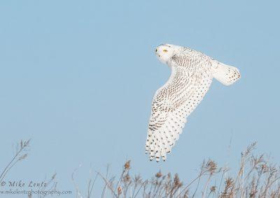 Snowy Owls wings down