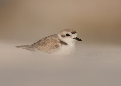 Snowy Plover in dust sand hill