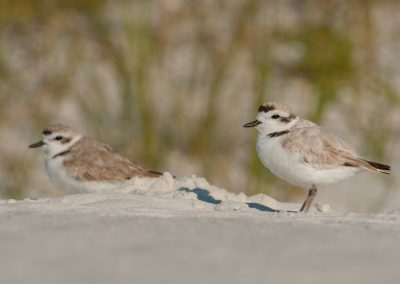 Snowy Plover pair in sand