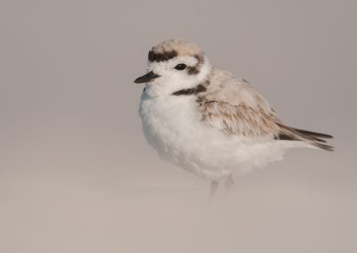 Snowy Plover in sand dune