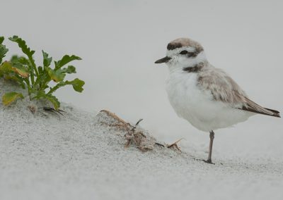 Snowy Plover tight near plant