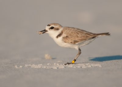 Snowy Plover with spider
