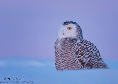 Snowy owl Sunset magenta eye level beauty