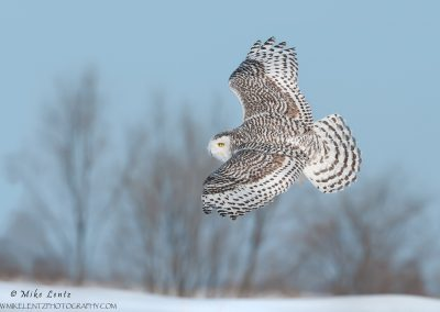 Snowy owl banking across field