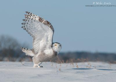 Snowy owl blast off