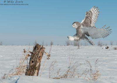 Snowy owl full landing gear out