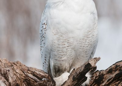 Snowy owl verticle on burnt logPS2