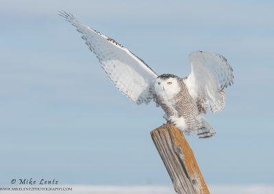 Snowy owl wings wide at landing